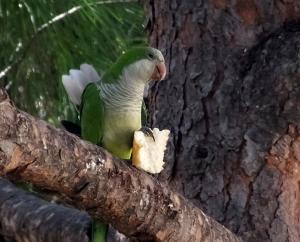 Green parrots.