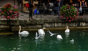 Feeding the swans is a popular activity in Annecy.