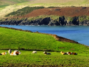 These cows are resting in their hillside pasture in Oysterhaven.