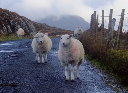 While driving the Wild Atlantic Way in Connemara, we were reminded that there's one traffic law a driver must remember in rural Ireland: Sheep always have the right of way!