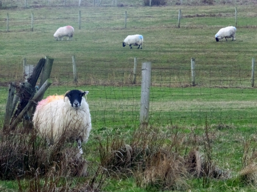 Whether they are naturally friendly, or just hoping for a handout, the sheep always seem to notice the humans who stop to watch them.