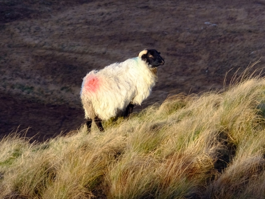 Since they wander so freely, their wooly coats are dyed in their owner's distictive colors to identify them when it's time for shearing or marketing.