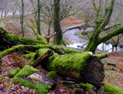 rich green moss covers trees which seem to have fallen centuries ago.