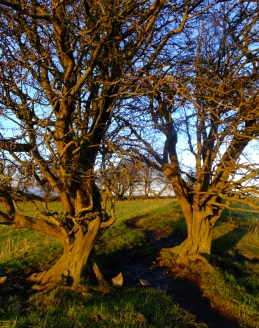 "Ancient, twisted trees stand on the Hill of Tara. Legend has it that these are among Ireland's magical ""fairy trees."""