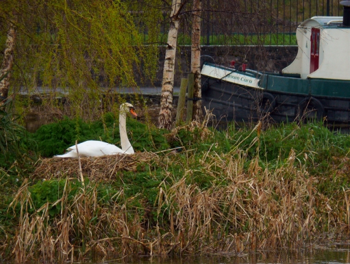 Maynooth-Swan and Anam Cara-13x17-72dpi-P1970861