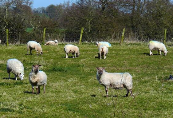 Sheep-13x19-P1970612