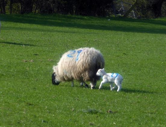 Sheep and Lamb-Crop-13x17-72dpi-P1020055